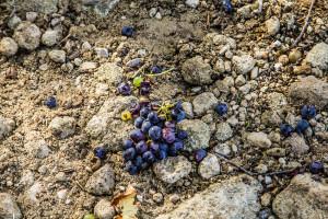Fallen grapes