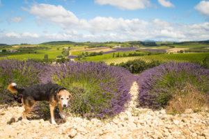 Lavender visit to Vinsobres